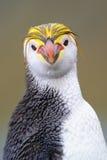 Королевский портрет пингвина (schlegeli хохлатого пингвина) Стоковое Изображение