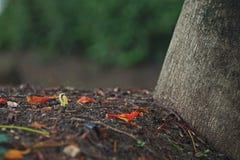 Королевский саженец poinciana Стоковая Фотография