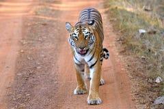 Королевский тигр Бенгалии на дороге Стоковые Изображения
