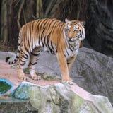 Королевский тигр Бенгалии Стоковые Изображения RF