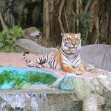 Королевский тигр Бенгалии Стоковые Изображения