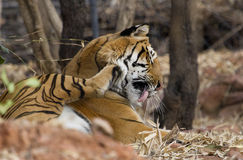 Королевский тигр Бенгалии Стоковые Фотографии RF