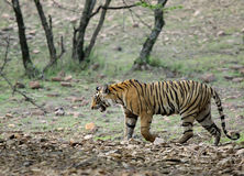 Королевский тигр Бенгалии, Ranthambore Стоковое фото RF