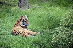 Королевский тигр или тигр Бенгалии Стоковые Изображения RF
