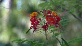 Королевский цветок Poinciana дует в ветерке, ШИРОКОМ, 4K сток-видео