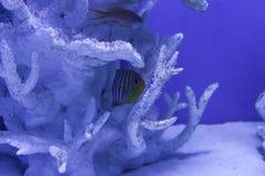 Королевский angelfish пряча среди кораллов Стоковое фото RF