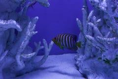 Королевский angelfish среди кораллов Стоковая Фотография