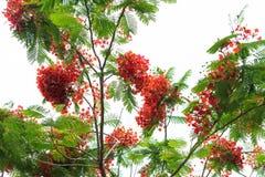 Королевский blossoming дерева пламени poinciana Стоковая Фотография
