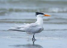 Королевский tern Стоковое фото RF