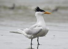 Королевский tern Стоковые Изображения