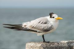 Королевский tern Стоковые Фото