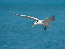 Королевский tern Стоковое Изображение