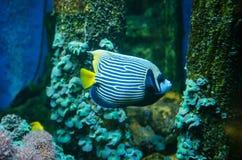Королевское diacanthus Pygoplites angelfish Стоковые Фотографии RF