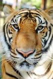 Королевство тигра на празднике Стоковые Фотографии RF