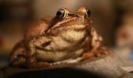 Король жабы Стоковое Фото