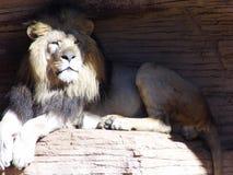 Король джунглей Стоковое фото RF