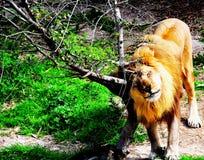 Король джунглей Стоковое Фото