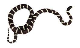 Король изолированная змейка Стоковая Фотография RF