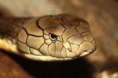 Король кобра Стоковые Изображения