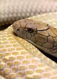 Король кобра Стоковая Фотография