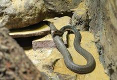 Король кобра Стоковые Фото