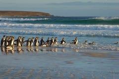 Король пингвины идет к морю Стоковые Фото