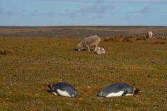 Король пингвины и овца - Фолклендские острова Стоковые Фотографии RF