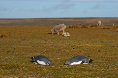 Король пингвины и овца - Фолклендские острова Стоковое Изображение RF