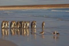 Король пингвины идя к морю Стоковые Фотографии RF