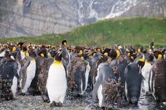 Король пингвины на гавани золота Стоковые Фотографии RF