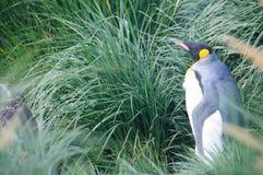 Король пингвины на гавани золота Стоковое Изображение RF