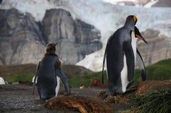 Король пингвины на гавани золота Стоковая Фотография RF