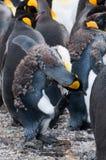Король пингвины на заливе Фортуны стоковое фото rf