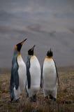 Король пингвины на заливе Фортуны стоковые изображения