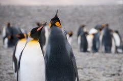 Король пингвины на заливе Фортуны стоковое фото