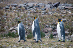 Король пингвины на заливе Фортуны стоковые изображения rf