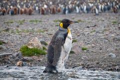 Король пингвины на заливе Фортуны стоковые фотографии rf