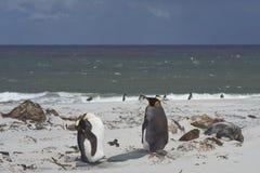 Король пингвины на песчаном пляже Стоковая Фотография
