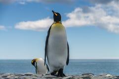 Король пингвины на равнинах Солсбери Стоковые Изображения RF