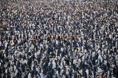Король пингвины на равнинах Солсбери Стоковое Изображение