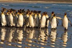 Король пингвины на рассвете Стоковое Изображение RF