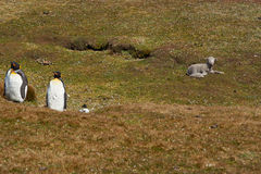 Король пингвины на ферме овец - Фолклендские острова Стоковая Фотография