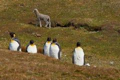 Король пингвины на ферме овец - Фолклендские острова Стоковое фото RF