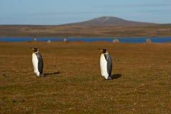 Король пингвины на ферме овец - Фолклендские острова Стоковое Фото