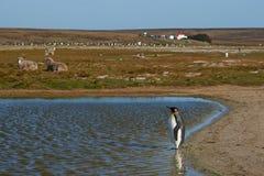 Король пингвины на ферме овец - Фолклендские острова Стоковая Фотография RF