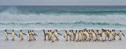 Король пингвины приходя на берег Стоковые Изображения