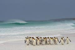 Король пингвины приходя на берег Стоковое фото RF