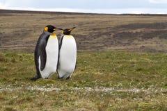 2 король пингвины Стоковое Фото