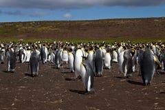 Король пингвины Стоковые Фотографии RF