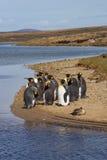 Король пингвины Moulting - Фолклендские острова Стоковая Фотография RF